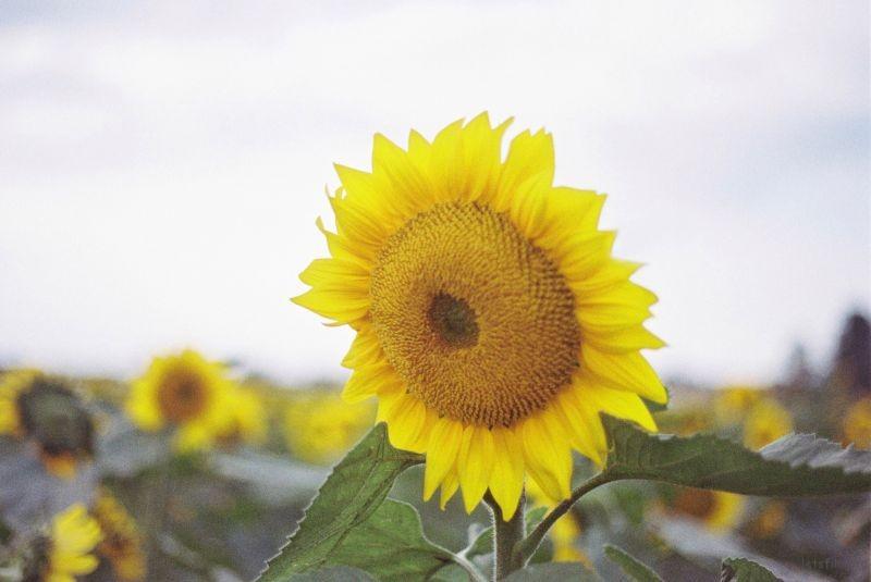 向日葵1 (2)