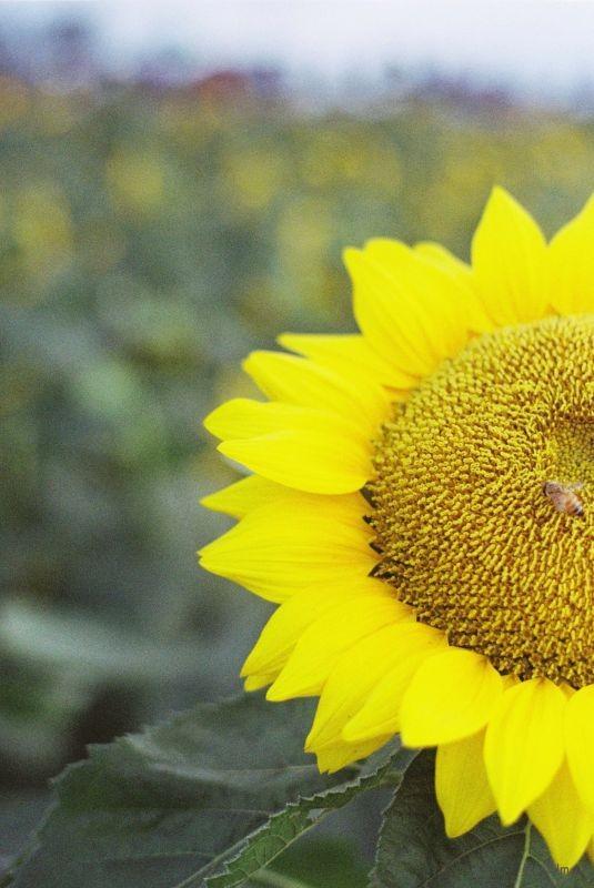 向日葵1 (3)