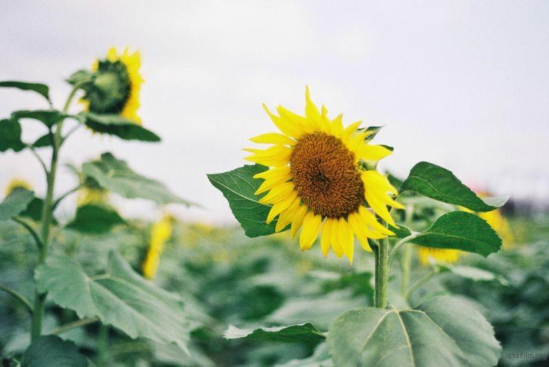 向日葵1 (4)