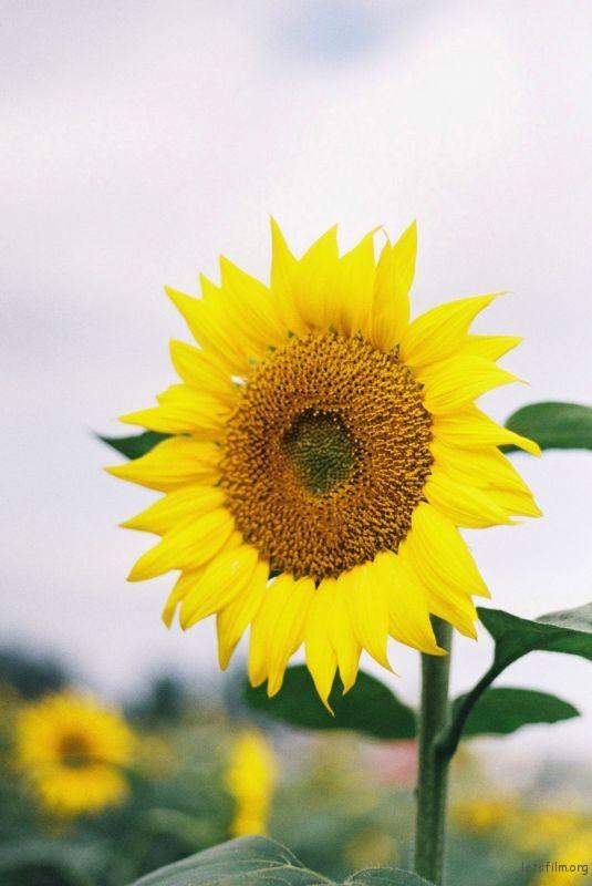 向日葵1 (5)