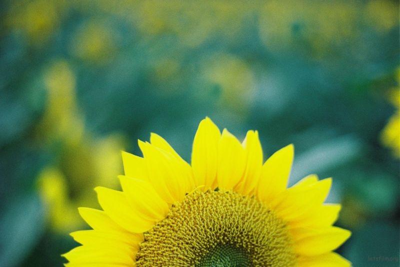 向日葵1 (7)