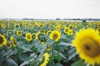 [16495] 愿我们都拥有,如向日葵般灿烂的笑容 