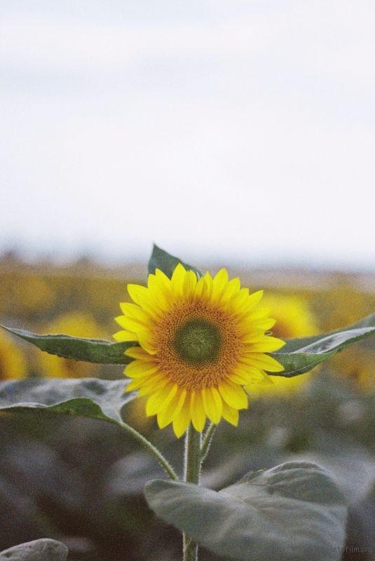 向日葵1 (9)