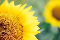 [16394] 嗨喽向日葵