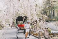 [20095] 樱花满开