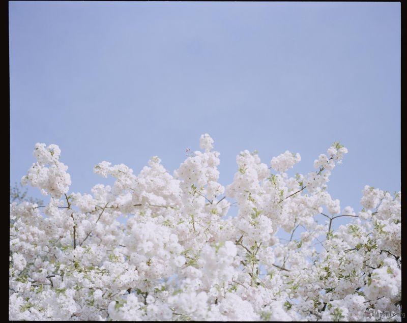 桜が咲くいた (3)