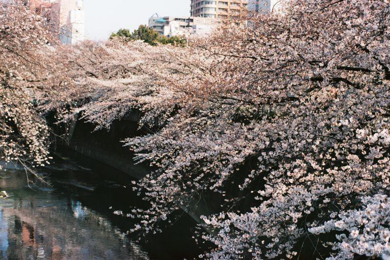 平成时代 最后的樱花 (1)