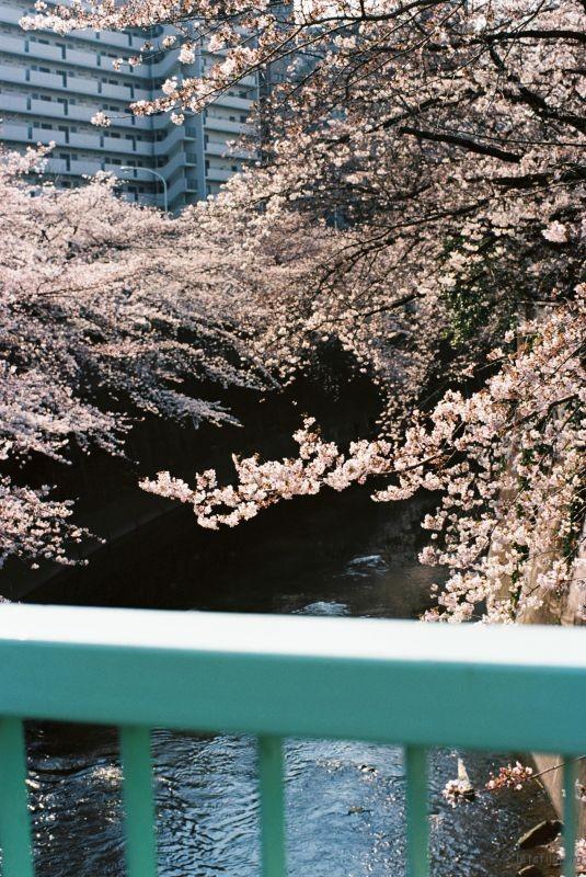 平成时代 最后的樱花 (2)