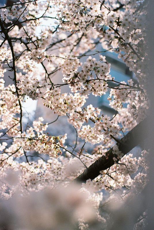 平成时代 最后的樱花 (4)