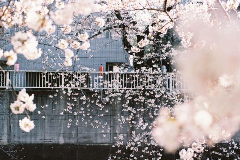 平成时代 最后的樱花 (5)