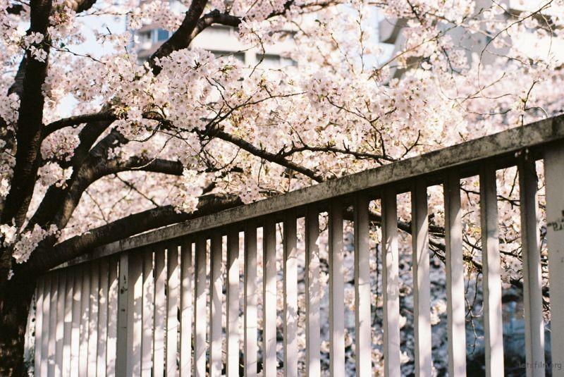 平成时代 最后的樱花 (6)
