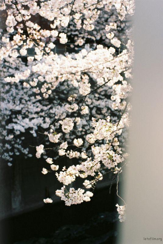 平成时代 最后的樱花 (7)