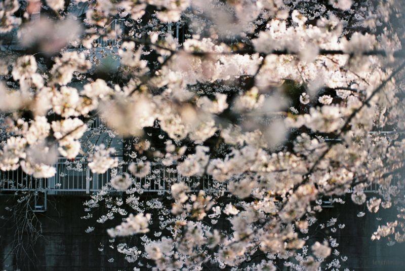 平成时代 最后的樱花 (8)