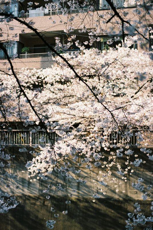 平成时代 最后的樱花 (9)