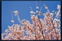 [20808] 花谢花飞飞满天