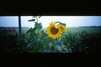 [22896] 崇明 · 金瓜 · 向日葵